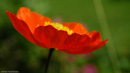 Widescreen image of a poppy
