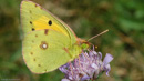Widescreen image of a Cloudy Yellow Butterfly